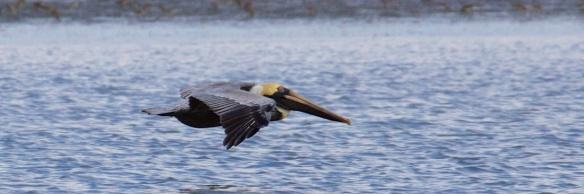 brown pelican  002