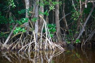 Mangroves  004