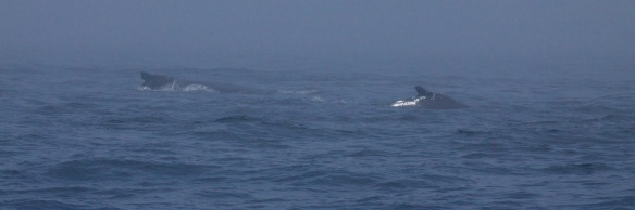 whales 33