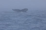 whales 36