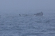 whales 37