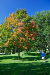 Canadian Sugar Maple