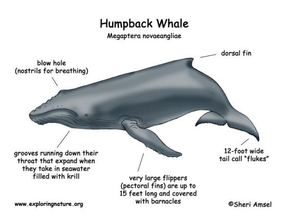 whale_humpback_diagram