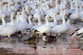 Ross Geese
