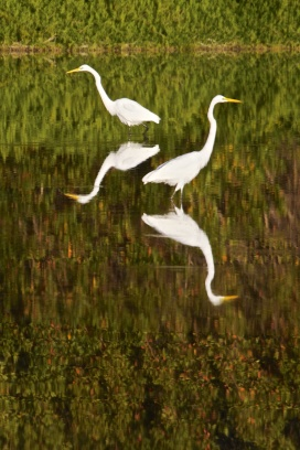 great egret 007